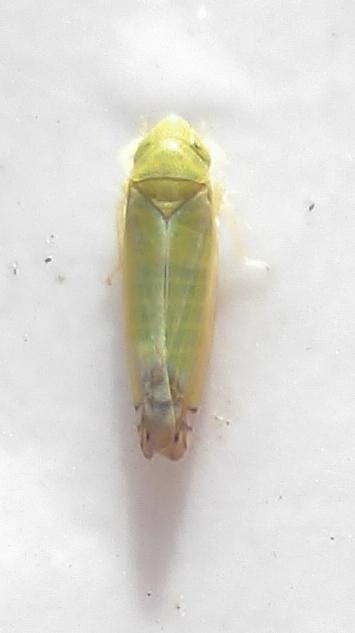 Zyginella pulchra